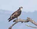 Falco pescatore_1