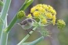 Luì piccolo (P. collybita tristis)