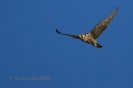 Falco pellegrino (F.p.calidus)