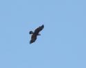 Aquila anatraia maggiore