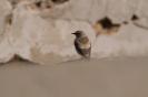 Monachella del deserto